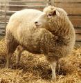 Првото суштество клон на возрасен цицач – овчичката Доли